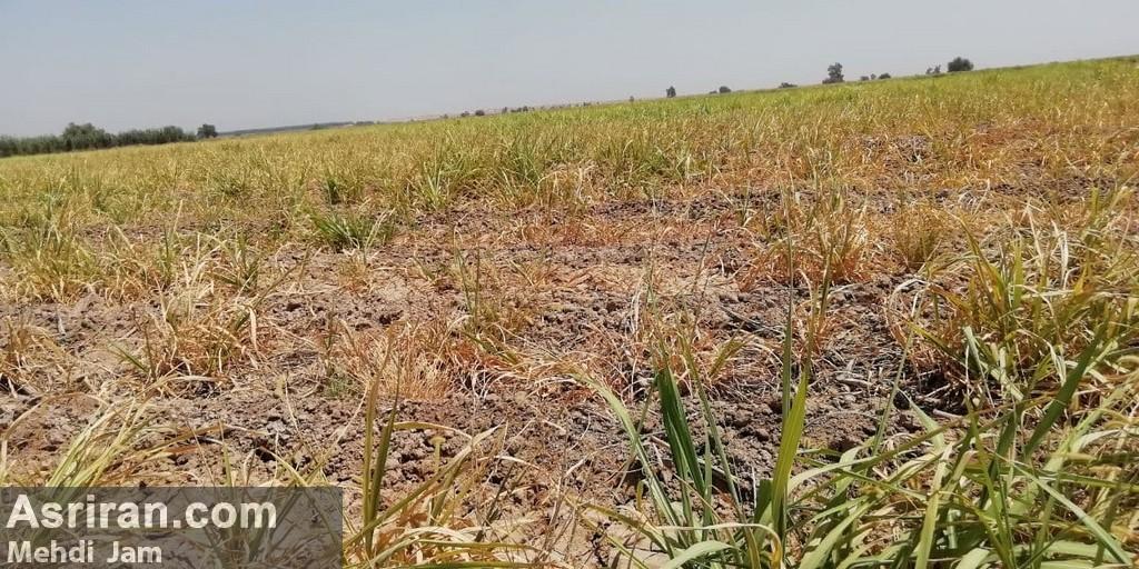 بحران بی آبی در مزارع هفت تپه/ خروج 500 هکتار از چرخه تولید (+عکس و فیلم)