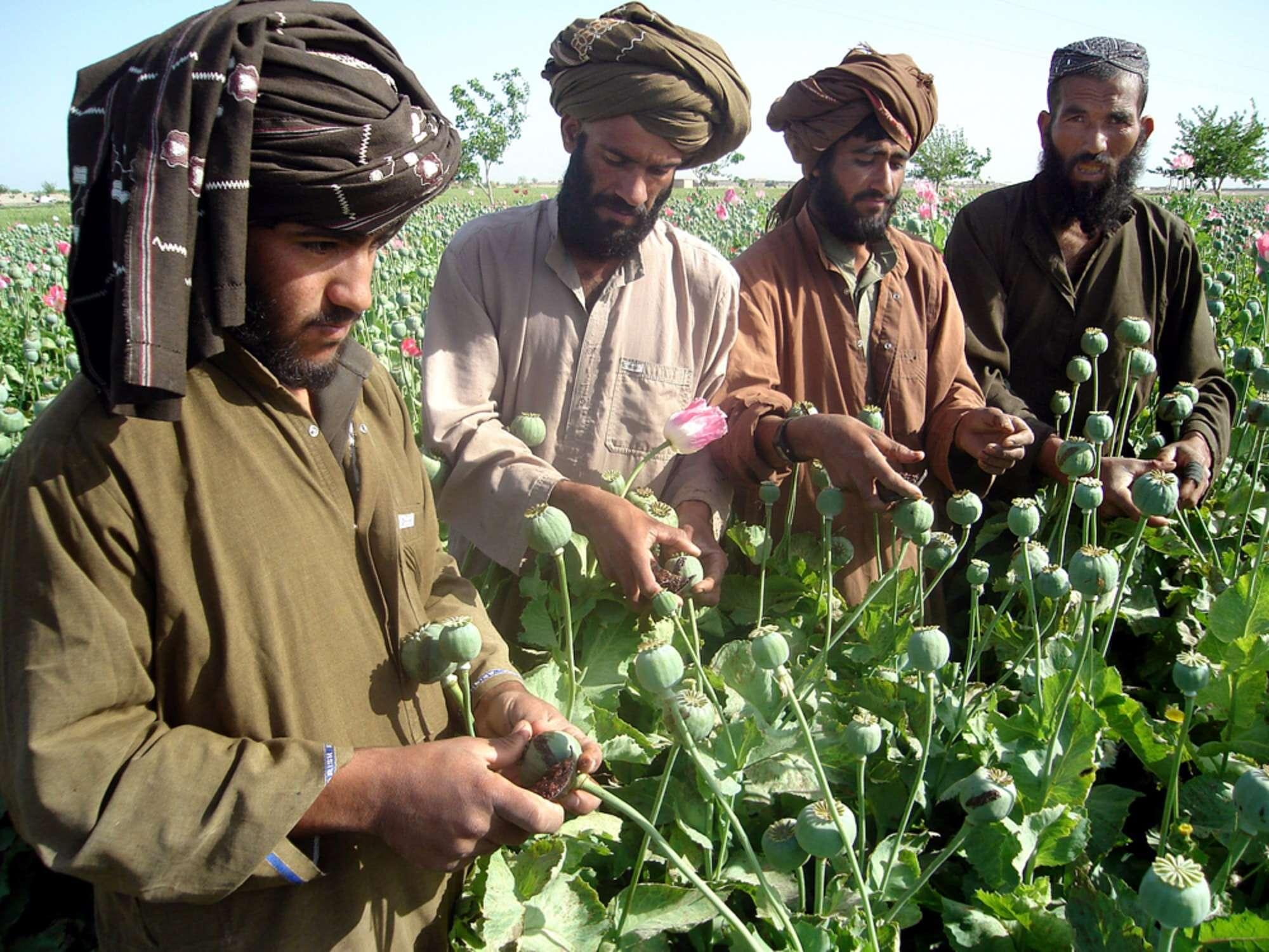 سود خشخاش: تجارت غیر قانونی مواد مخدر برای طالبان نعمت است