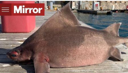کشف ماهی با بدن کوسه و سر خوک (+عکس)