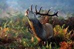 رونق طبیعتگردی به قیمت جان گوزنهای قرمز؟ در فصل گاوبانگی دست از سر مرالها بردارید (فیلم)