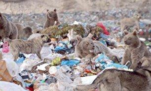 زباله گردی خرسهای قهوهای! (+عکس)