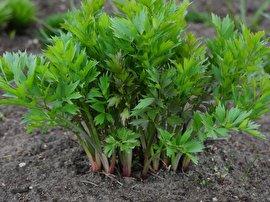 انجدان رومی: آشنایی با یک گیاه معجزه گر! (+عکس)