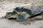 وقتی لاکپشتها، مرده به سواحل ایران میرسند/ تورهای ماهیگیری، صیاد لاکپشتهای دریایی (فیلم)