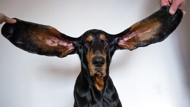 گوشدرازترین سگ دنیا معرفی شد (+عکس)