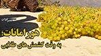 هورامانات در فصل طلایی؛ راز کشمشهای طلایی کردستان در روستای پلکانی دولاب (فیلم)