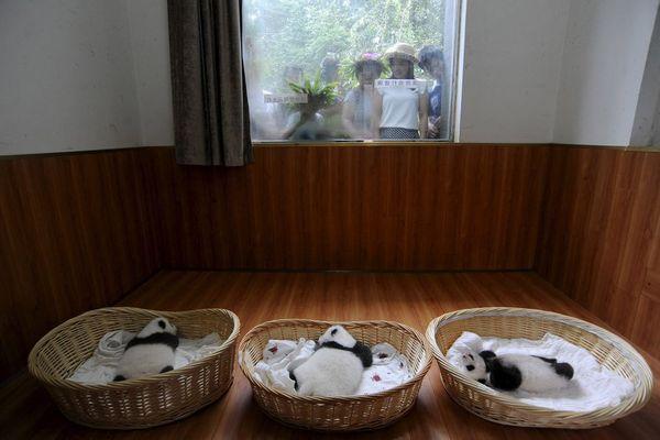 پانداهای تازه متولد شده – چین