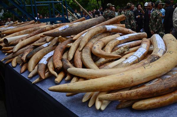 کشف 2 تن عاج فیل قاچاق در تایلند