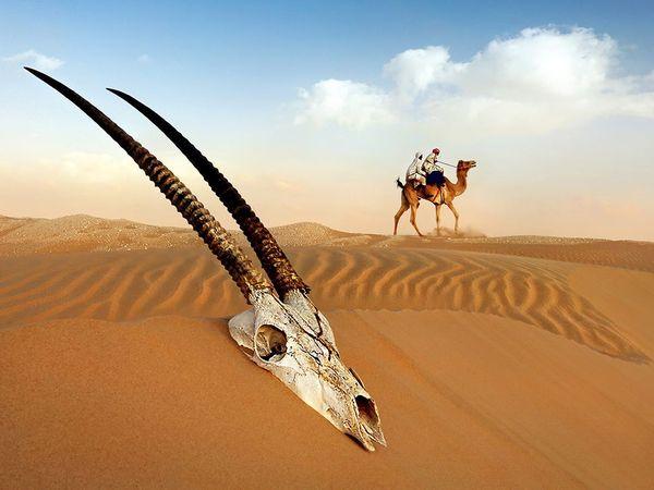 اسکلت جمجمه یک غزال عربی در صحرای الغربیه در غرب امارات متحده عربی