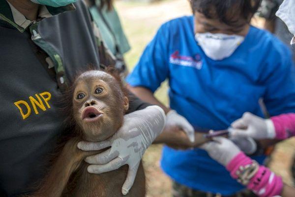 گرفتن آزمایش خون از یک اورانگوتان 2 ساله – تایلند