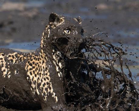 پرش یک پلنگ به داخل یک حوضچه پر گل و لای برای شکار ماهی – بوتسوانا