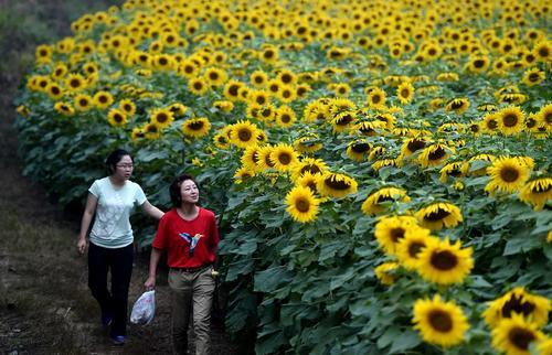 مزرعه گل آفتابگردان در ژنگژو چین