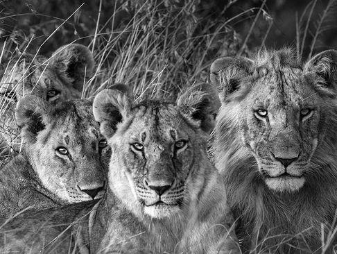 یک خانواده شیر در پارک ملی ماسای مارا کنیا