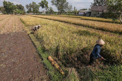 کشاورزان در حال دروی برنج در شالی – اندونزی