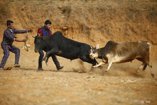 نزاع گاوهای وحشی در جریان یک جشنواره آیینی در نپال