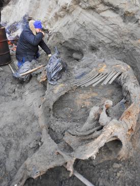 کشف بقایای یک ماموت از 45 هزار سال پیش در شمال روسیه