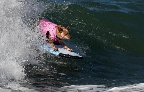 مسابقات موج سواری سگ ها در ایالت کالیفرنیا - آمریکا - خبرگزاری فرانسه