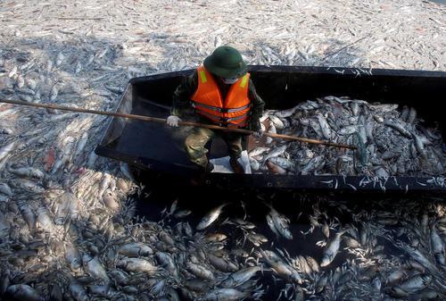 سربازان ویتنامی مشغول جمع آوری اجساد هزاران ماهی که در اثر آلودگی در دریاچه ای در شهر هانوی تلف شده اند