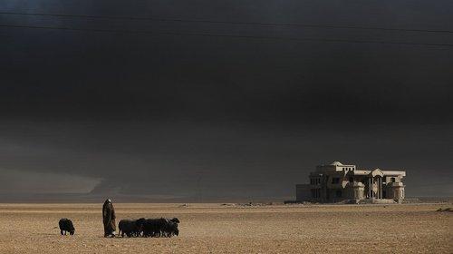 گله گوسفند یک شهروند عراقی در حومه شهر موصل