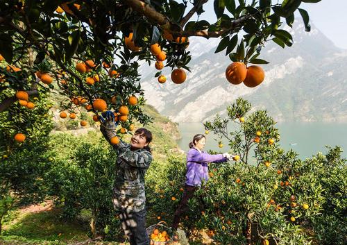 زنان کشاورز چینی در حال چیدن پرتقال از درخت – استان هوبِی