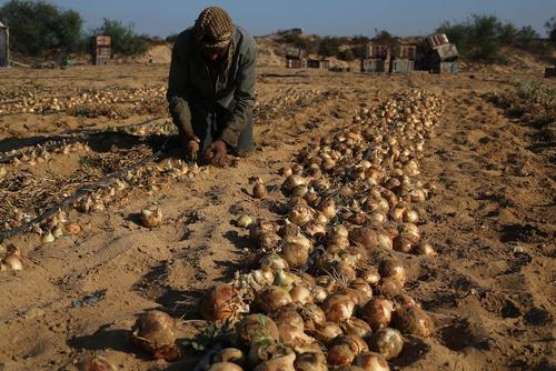 کشاورز فلسطینی در حال برداشت پیاز از یک زمین زراعی – غزه