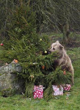 هدایای کریسمس برای دو خرس قهوه ای باغ وحشی در انگلیس