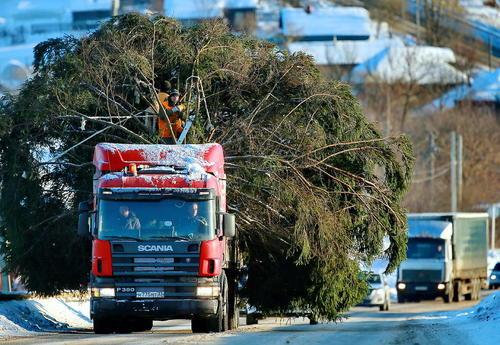 شهرداری شهر ایوانوو روسیه در حال انتقال کاج به منظور تزیین به مناسبت کریسمس