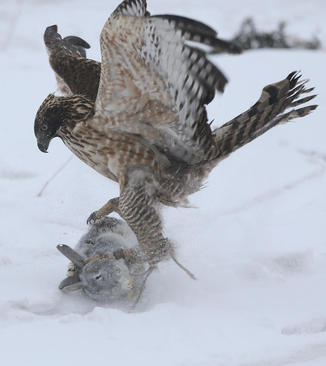 شکار یک خرگوش از سوی عقاب – جیلین چین