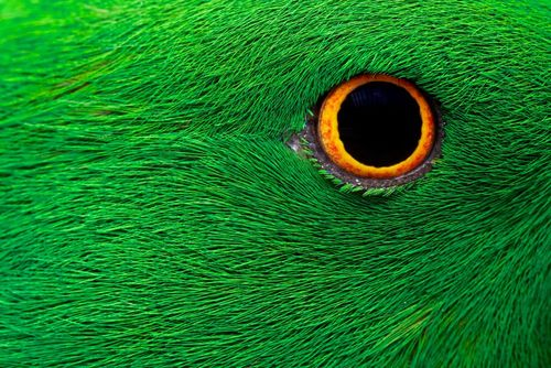 چشم طوطی از نمایی نزدیک