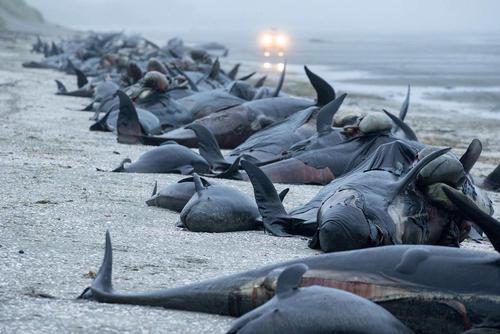 تلف شدن نزدیک به 200 وال در ساحل- نیوزیلند