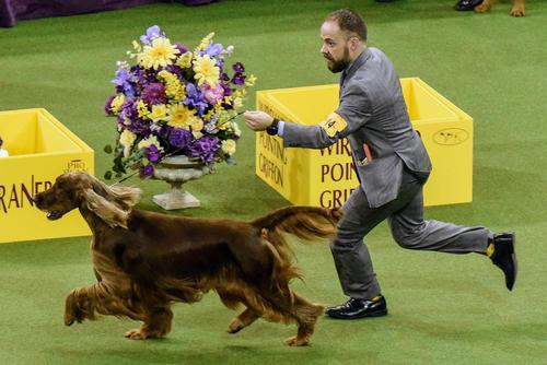 مسابقه سالانه نمایش سگ خانگی در نیویورک