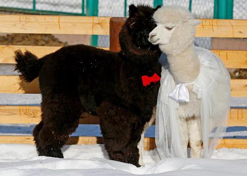 گرفتن جشن ولنتاین برای زوج های باغ وحشی در روسیه
