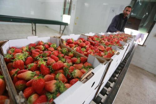 بسته بندی توت فرنگی کشت شده در شمال غزه برای صادرات به کرانه غربی