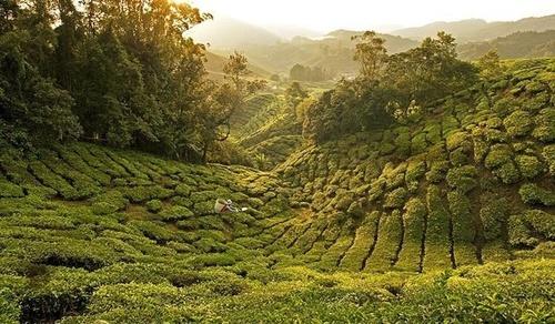 ارتفاعات کامرون با دمایی خنک ،زیبایی معنوی و طبیعی و مزارع چای در مالزی در این فهرست جای خوش کرده اند.