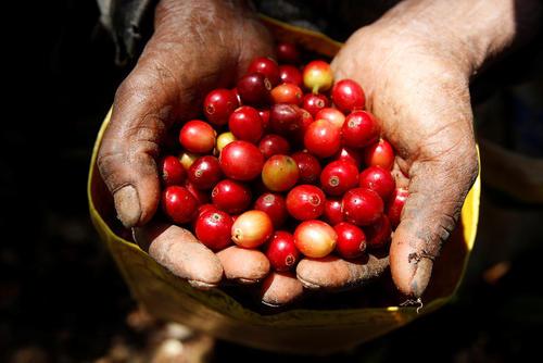 جمع آوری دانه های قهوه در کاباناس هندوراس