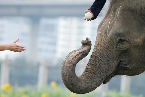 مسابقات سالانه چوگان فیل ها در بانکوک تایلند
