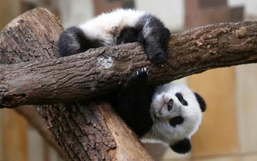 پاندای باغ وحش وین در حال بازیگوشی