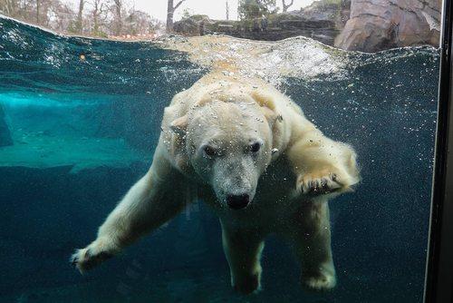 خرس قطبی باغ وحش هانوفر آلمان