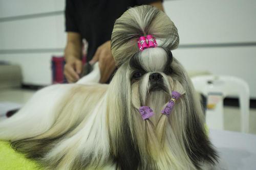 نمایش سالانه سگ های خانگی در بانکوک تایلند