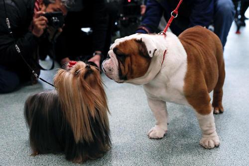 گردهمایی سگ های خانگی برتر آمریکا – نیویورک