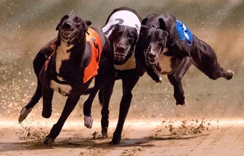 مسابقه سگ های صیادی در لندن