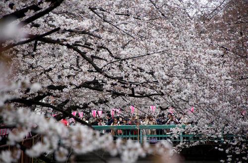 جوانه زدن شکوفه های گیلاس در توکیو
