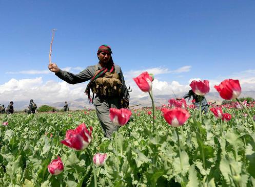 ماموران پلیس افغان در حال تخریب یک مزرعه کشت خشخاش در حومه شهر جلال آباد افغانستان