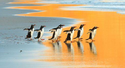 ورود پنگوئنها به یکی از جزیرهها در مجمعالجزایر فالکلند – مالویناس- در اقیانوس اطلس