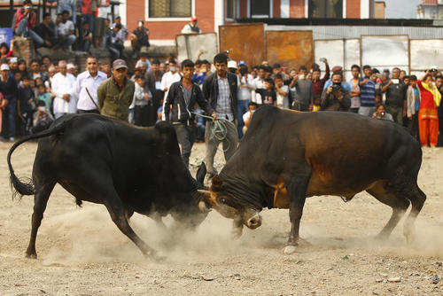 جدال گاوها – کاتماندو نپال