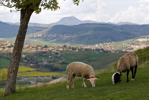 چرای گوسفندان در مراتع سبز مرکز فرانسه