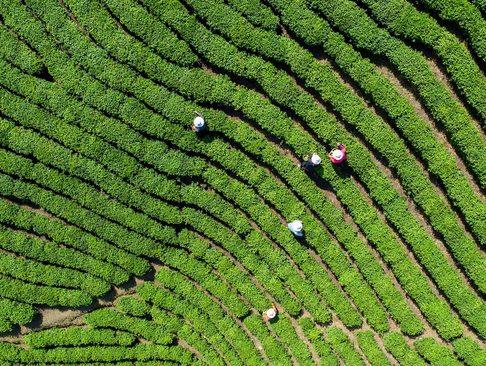 مزارع چای – چین