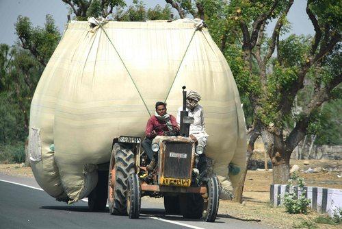 کشاورزان هندی در حال انتقال گندم های درو شده به بازار فروش – راجستان
