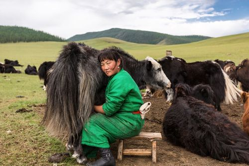 شیردوشی از گاوهای کوهان دار – مغولستان