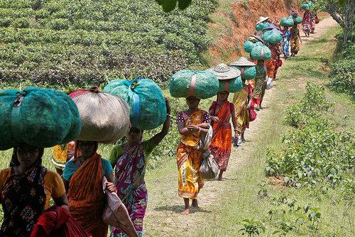 کارگران در حال حمل چای برداشت شده از یکی از مزارع چای در ایالت آگارتالا هند
