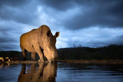 کرگدن سفید – آفریقای جنوبی